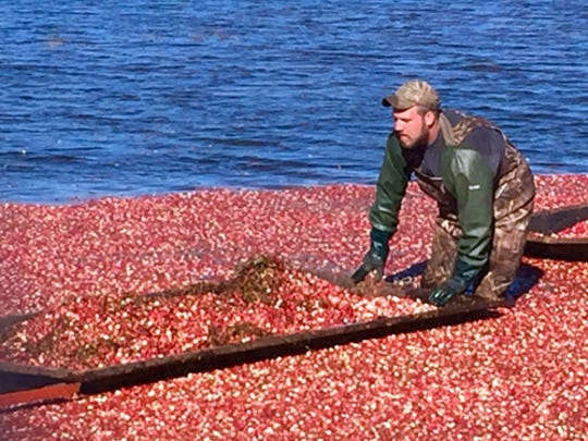 Harvesting Michigan cranberries