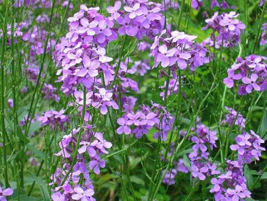 A third invasive mustard is Hesperis or Dame's Rocket.