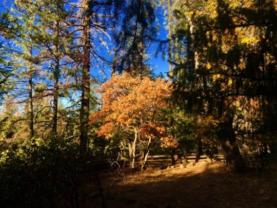 Fall color on display at McArthur-Burney Falls Memorial State Park in Burney, Calif.