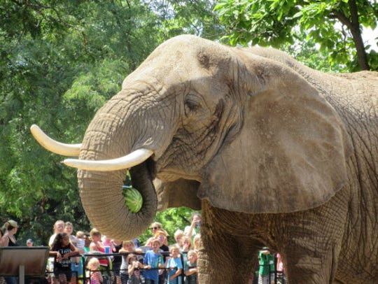 An African elephant at the Milwaukee County Zoo cradles