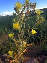 Even a scraggly stem can produce a sunny flower with