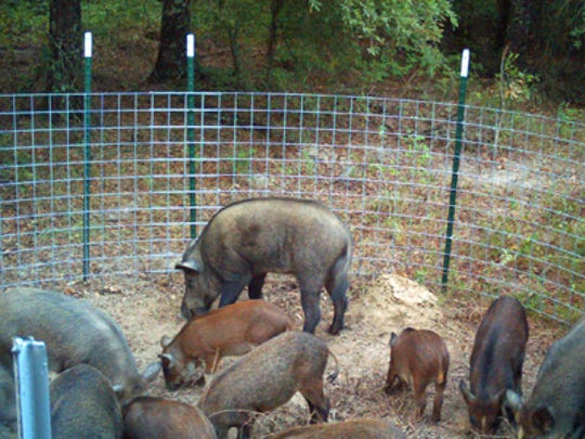The most effective trapping technique for feral hogs is to capture the whole sounder (family group) at one time, which requires that the pigs become acclimated to the trap and bait inside.
