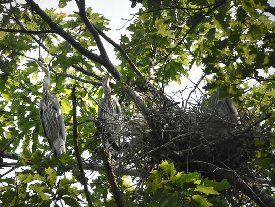Two herons perch near a nest in a tree that is part