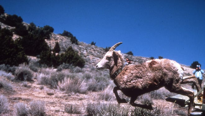 In a 2003 photo, A desert bighorn sheep is released in the Granite Mountains of northern Nevada near the Oregon line. Nevada Department of Wildlife officials say they reluctantly had to slaughter one herd of bighorns in the Montana Mountains of northwest Nevada earlier this year in a last-ditch effort to try to stop the spread of deadly disease to a neighboring herd.