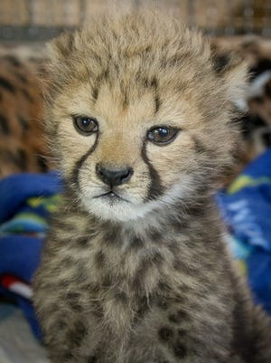 Donni was born February 25, 2016, at the Wildlife Safari in Oregon. He came to Cincinnati after his mother failed to produce enough milk for him.