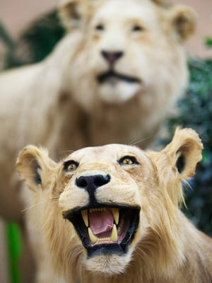 Lions are among the nearly 400 animals in the Shell FactoryÕs taxidermy collection in North Fort Myers. The Shell Factory claims it is the largest collection on display in the country.