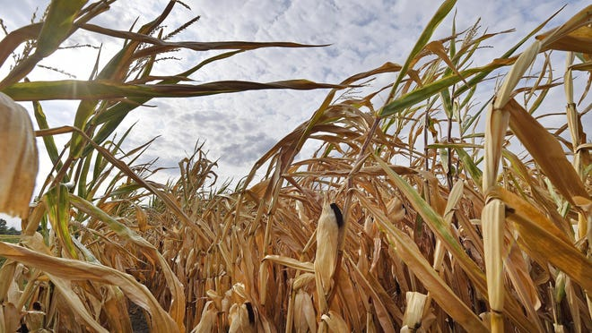 FILE - In this Aug. 21, 2018 file photo a dry cornfield is pictured in Ahlen, Germany. The world could see average global temperatures 1.5 degrees Celsius (2.7 Fahrenheit) above the pre-industrial average for the first time in the coming five years, the U.N. weather agency said Thursday. The 1.5-C mark is a key threshold that countries have agreed to limit global warming to, if possible. Scientists say average temperatures around the world are already at least 1 C higher now than during the period from 1850-1900 because of man-made greenhouse emissions.