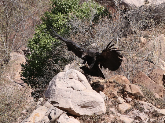 On Jan. 2, a team spots California condor chick No. 871 near the Devils Gate nest.