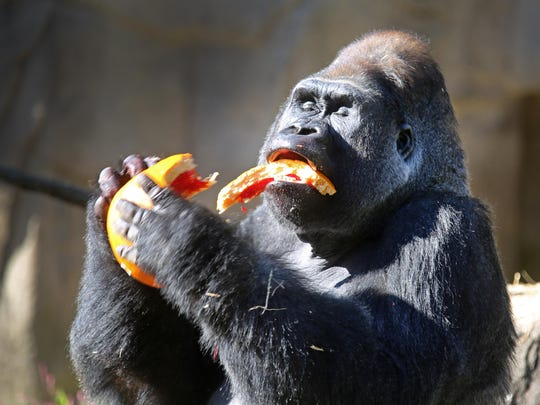Jomo, a silverback at the Cincinnati Zoo and Botanical Garden enjoys his pumpkin filled with treats at this year's HallZOOween event.