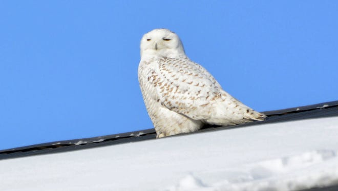 A snowy owl in Lancaster County in 2014.