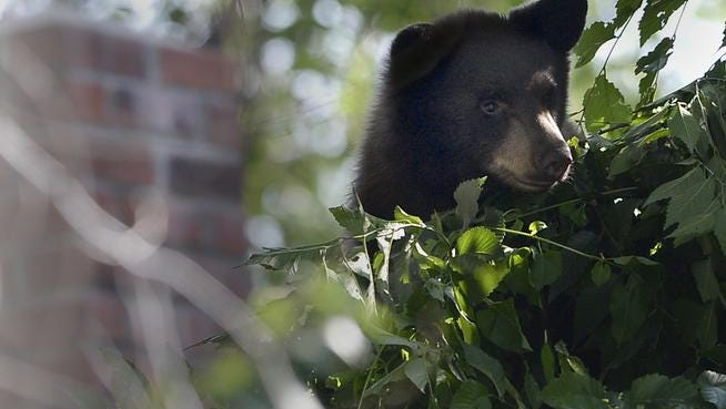 A bear cub looks around from a tree near Folsum and Bluff in Boulder.