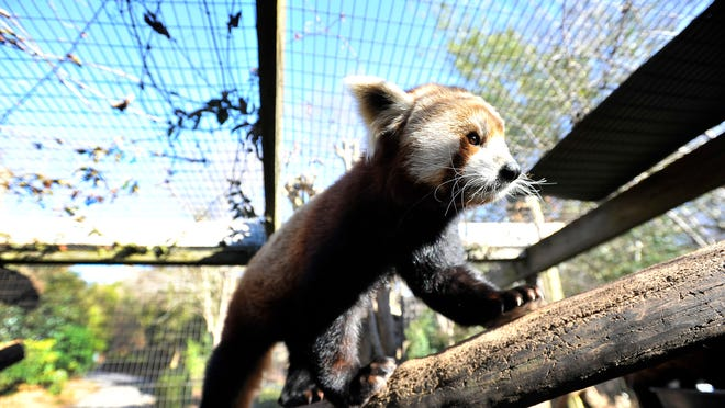 Firecracker, a red panda on display at the Greenville Zoo, rests on a branch inside his exhibit on Friday, February 27, 2014.