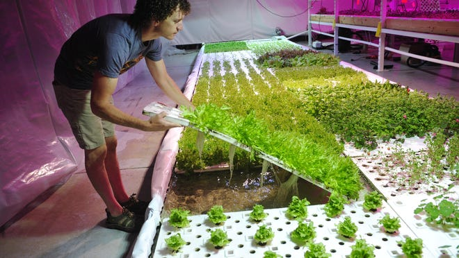 Jeffrey Orkin shows how his lettuce roots grow underneath the hydroponic trays at his business, Greener Roots Farm.