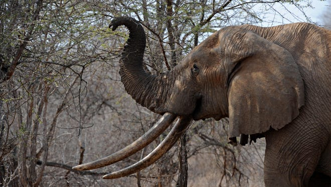 This 2009 photo shows an elephant using its trunk to reach the upper branches of a tree over the dry brush as it searches for food at the Tsavo West National Park in southern Kenya.