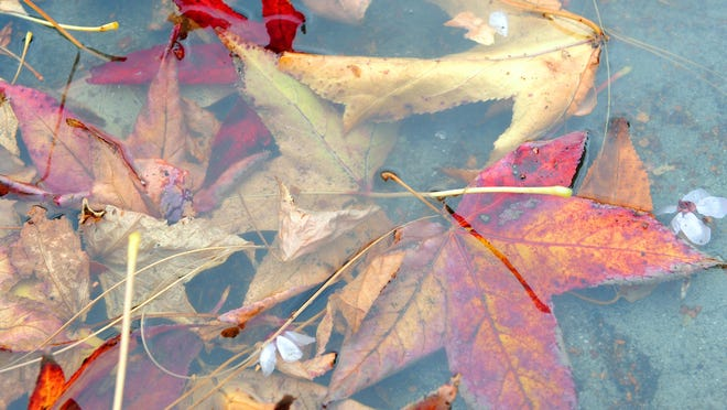Fall leaves mingle in a rain puddle in Salinas.