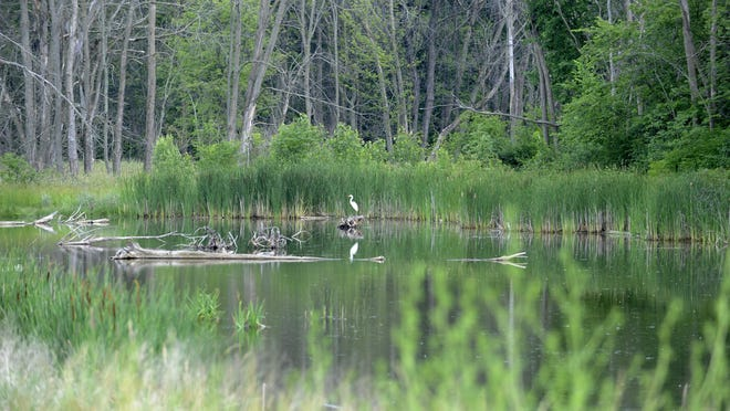 An egret perches in the man-made wetlands on the grounds of Woodside Bible Church in Troy in this file photo from June 23, 2009.
