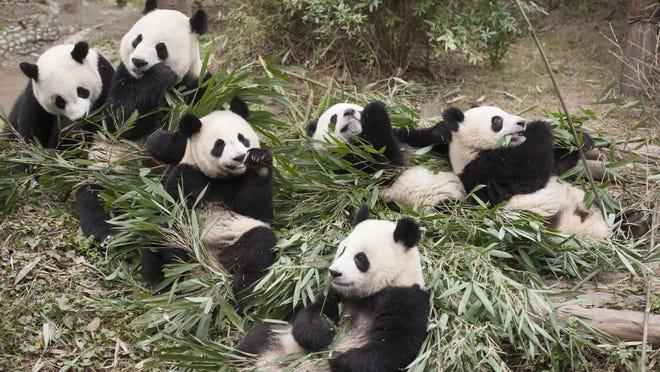 Pandas movie.