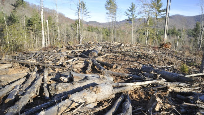 Recent logging in the North Mills River Recreation Area of the Pisgah National Forest cleared most of a white pine stand, opening the area to a young forest of trees like oak, better suited to the region, Forest Service officials said.