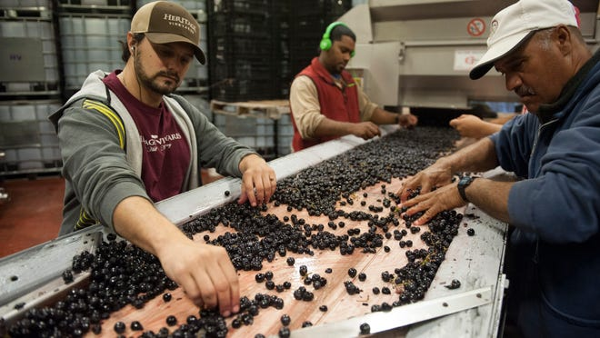 Tony Scordo and Benny Bienvenido sort Chamboucin grapes at Heritage Winery in Mullica Hill.