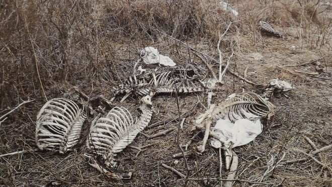 Skeletal remains of deer can be seen in this photograph made earlier this year by a Bull Shoals resident.