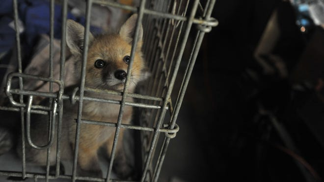 Orphaned fox Woodland sits impatiently in his cage. He will be released around August.