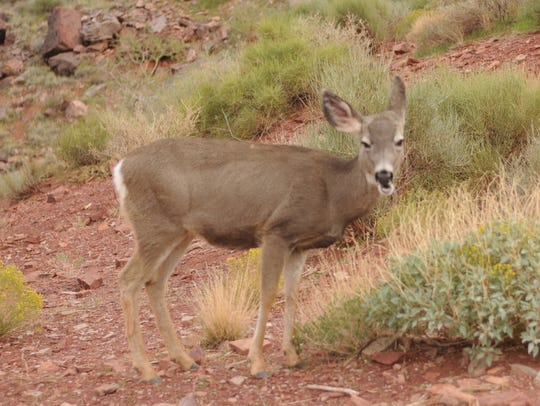 A deer grazes along the South Kaibab trail at Grand
