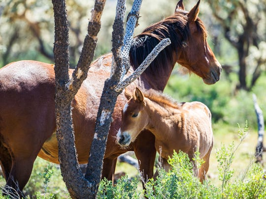 A wild foal stays close to its mother in the Tonto