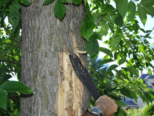 An arborist removes the bark of an ash tree in Montclair last year to investigate reports of an emerald ash borer infestation.