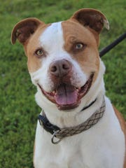 Jack Jack is a pit bull and cattle dog mix who was