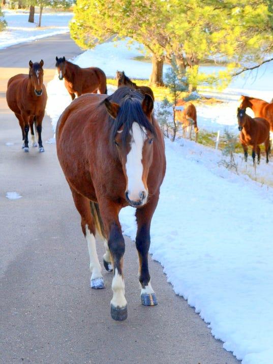 members of wild alto horse herd