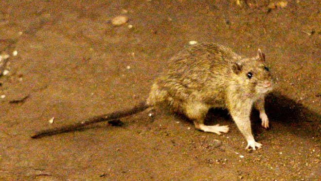 In this June 15, 2010 file photo, a rat moves along the ground near the subway tracks at Union Square in New York. In July 2014, New York City plans to got to war with its rat population. Financed with $611,000 from the City's budget, an army of inspectors will descend on the city's most rat-infested neighborhoods, targeting the parks, sewers and dumping areas where rats congregate and breed. (AP Photo/Frank Franklin II, File)