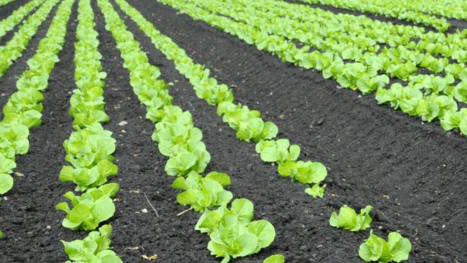 Romaine lettuce grows in a field.