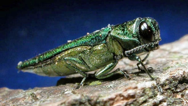 Emerald ash borers burrow underneath bark, killing the trees they infest within five years.