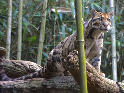 Clouded Leopards are arguably one of the 'signature'