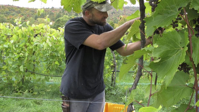 Vineyard manager Jordan Kittridge harvests grapes at Fresh Tracks Farm Vineyard & Winery in Berlin. The dry summer weather was ideal for growing grapes in some spots in the Northeast, but the drought in southern New England and parts of New York may have decreased the crop.