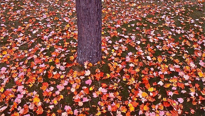 The maple leaves of fall.