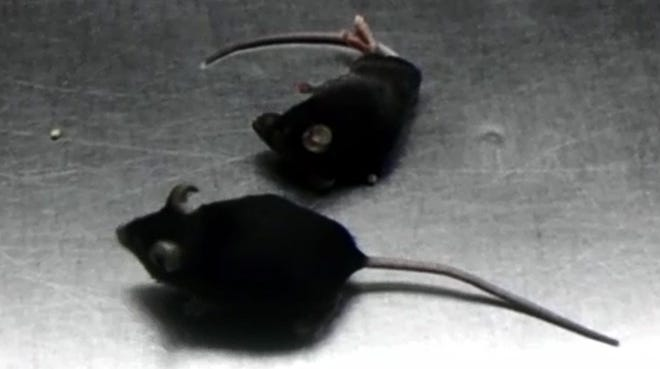 The healthier-looking mouse received a stem cell treatment for its multiple sclerosis-like symptoms, while the mouse lying down did not.