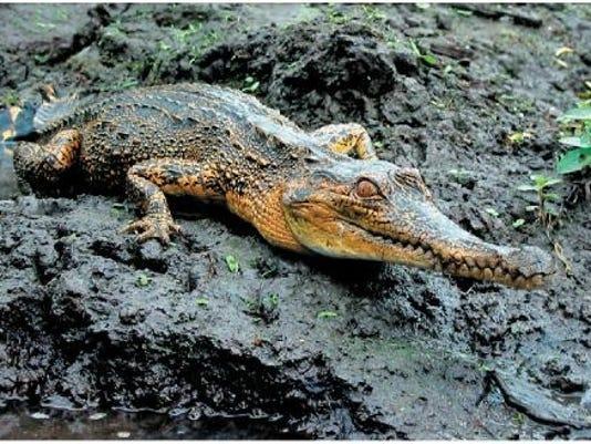 croc1.png