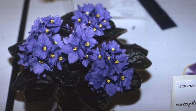 This dark blue flowered African Violet received a blue ribbon for high quality of flowers and foliage. Richard Poffenbaugh Photo.