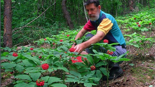 W. Scott Persons picks ginseng berries.