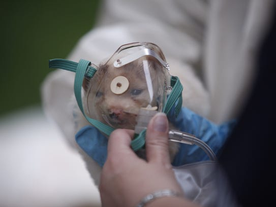 A rescued dog receives oxygen in Howell.