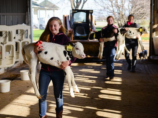 Lizzie Feldpausch, 12, carries Agnes back to her pen as her sister Kellie, 14, and mom Debbie Feldpausch carry Addie and Annie, respectively, after the triplet heifer calves sat for a photo shoot at  Sonrise Farm Tuesday Nov. 29, 2016, in Westphalia. The calves were born on Thanksgiving by a cow owned by Berlyn Farms. Sonrise Farm contracts with other dairy farms to raise the calves. Having triplet calves is very rare. People have put the occurrence at 1 in 100,000  to 1 in 400,000.