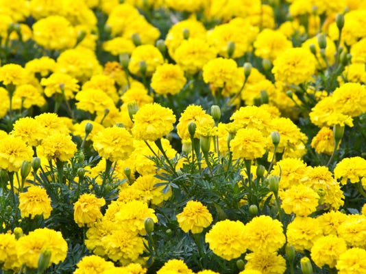 Flowers-marigolds.jpg