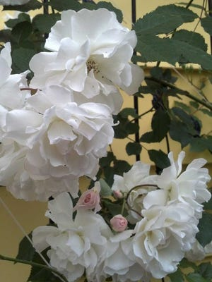 Prune your roses in February, and they will look beautiful in spring.