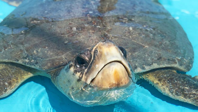 """Recent sea turtle released patient """"Honda"""" is named in honor of The Honda Classic, the largest golf event in Palm Beach County."""