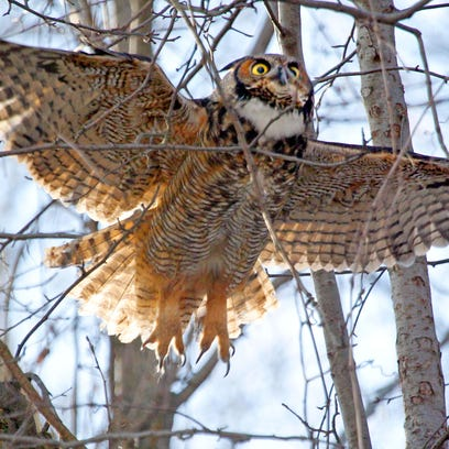 A great horned owl takes flight after resting near the Milwaukee River just off E. Locust St. in Milwaukee on Monday, January 13, 2014. Great horned owls are among the largest owls in North America and are the most common found in southern Wisconsin.