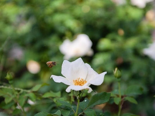 Bee exploring a white rose.