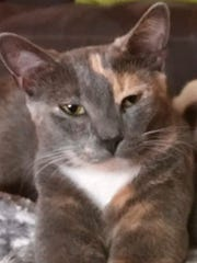 Patchie is missing but was recently seen in Valencia Golf Country Club near Randall Boulevard.