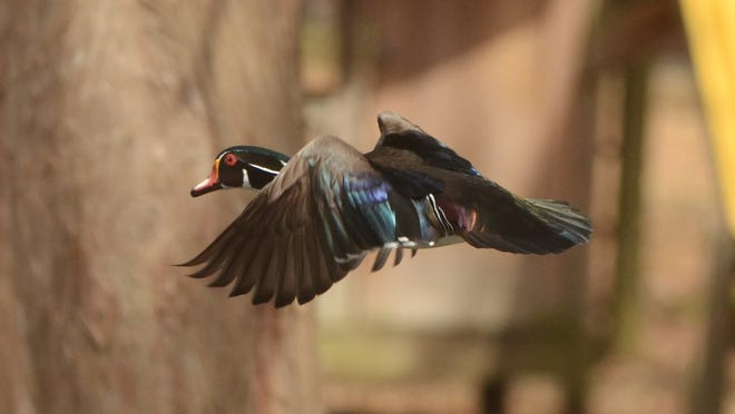 A male wood duck takes flight after waiting for his hen, who was sitting on a clutch of eggs inside a wood duck box between East Bayou Parkway and the Vermilion River.