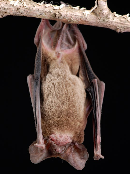 Brazilian Free-tail Bat Hanging - Full Front View